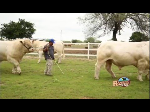 Xxx Mp4 29 NOVIEMBRE 2015 Rancho Altamira Ganado Charolais 3gp Sex