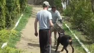 Dog Training Rottweiler Attack Commands