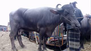 Buffalo।  ১০ মন ওজনের মহিষ এর দাম জানুন। biggest buffalo in Indian