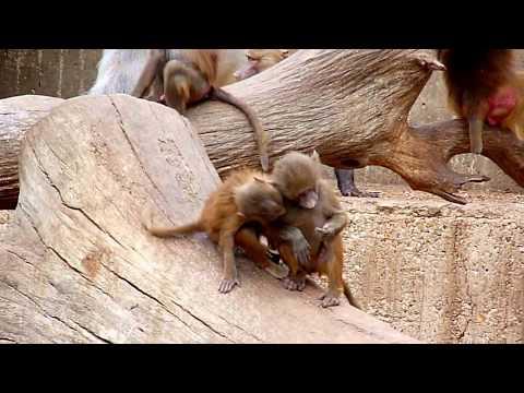 Monos salidos