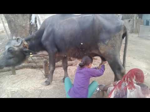 Xxx Mp4 12 Saal Ki Ladki Bhaisa Ka Doodh Doo Rahi Hi 3gp Sex