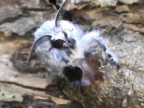 Xxx Mp4 Puss Moth Cerura Vinula Emerging 3gp Sex