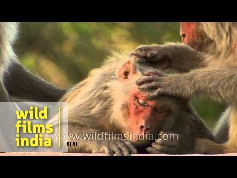 Monkey picking lice from another monkey