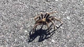 Brief tarantula crossing