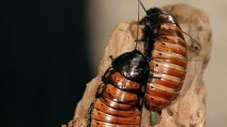 8 Madagascar Hissing Cockroach Facts | Pet Tarantulas