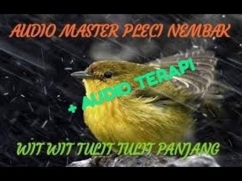 Suara Masteran Pleci Tembakan Panjang Wit wit Tulit Tulit + Audio Terapi