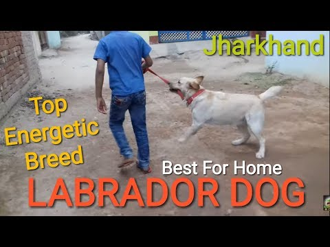 Xxx Mp4 2018 Labrador Pure Double Coated Dog Daltonganj For Best Dog Breed India Jharkhand 7050587044 3gp Sex