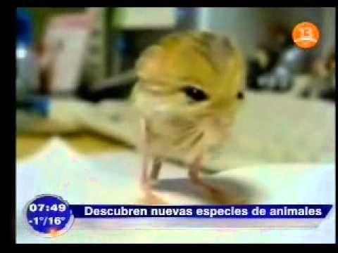 Animal asombra por tener extraña mezcla de pollo ratón y canguro