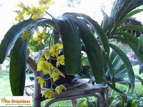 Orquideas Cycnoches. Floracion y cuidados