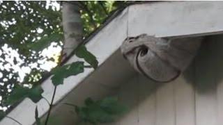 Shooting a Huge Wasp Nest With a Paint Ball Gun