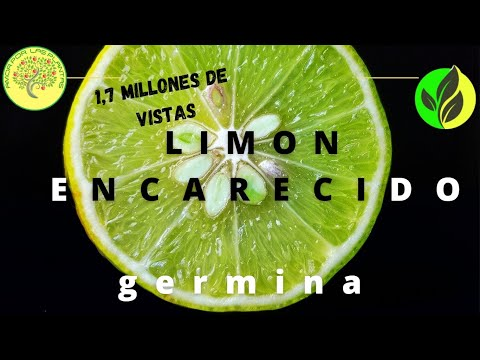 Como preparar las semillas de limon para que germinen Citrus × limon