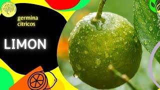 Como preparar las semillas de limon para que germinen (Citrus × limon)
