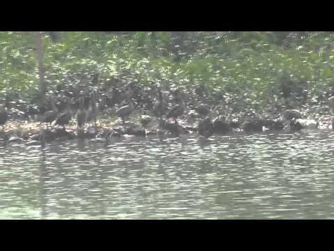Migratory Birds Of Santragachi Lake   Part 2