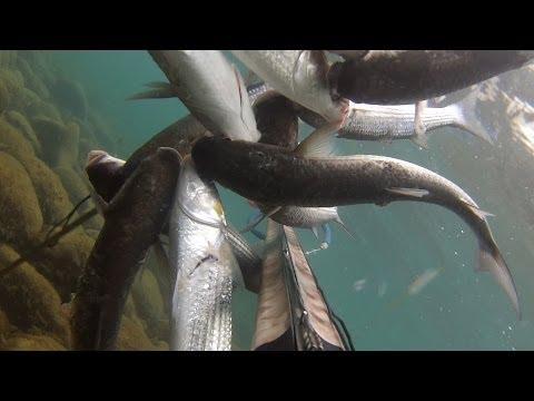 как ловить лобана в море