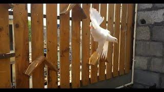 Amazing Ground Roller pigeon in Bangalore India