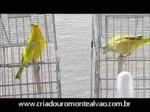 Filhotes canário da terra CMA 2012