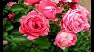 Rambling Rose musik Leif Strand