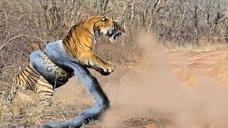 Giant ANACONDA attacks TIGER - Animal Fight Python vs Tiger vs Jaguar Real Fight Part 2