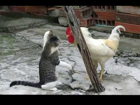 Pelea Gato vs Gallo