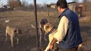 Anadolu Çoban Köpeği ''BOĞAÇ'' Anatolian Shepherd Dog Kastamonu/Turkey