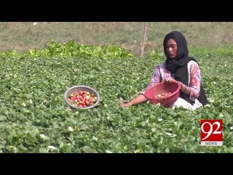 Xxx Mp4 Seasonal Fruit Strawberry Harvesting In Multan 28 02 2017 92NewsHDPlus 3gp Sex