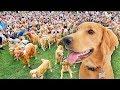 681 Golden Retrievers Tetapkan Rekor Dunia! (Mereka anjing lucu tapi salah satu anjing paling lucu)