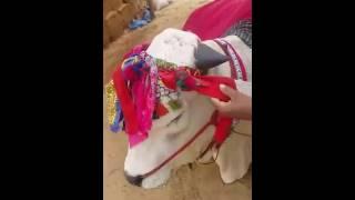 Sibbi Mela Winner 2016 Bull In Mawehshi Mandi Karachi
