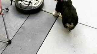 Puppy vs Roomba round 1