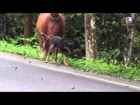 ข่าว เจ้าสิงห์สุนัขแสนรู้จูงวัวชนเพื่อนเลิฟ ออกกำลัง