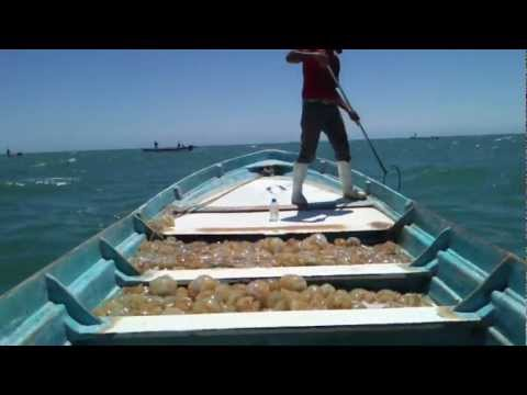 El Golfo De Santa Clara Pescando Aguamalas Fishing for Jellyfish Part 2