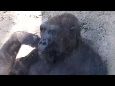 GORILLA PLAYS WITH BOY AT ZOO Funny