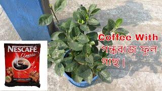 Coffee With Gardenia Plant | গন্ধরাজ ফুল গাছের সম্পূর্ণ পরিচর্যা |