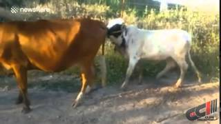 Funny Cow Mating Fail
