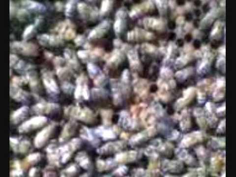 La Desaparicion de las abejas zangano Anticristo