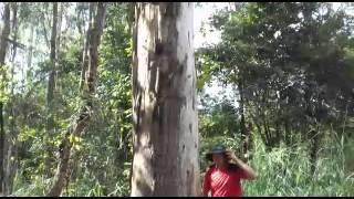 Derrubando árvore em cima do proprio irmão