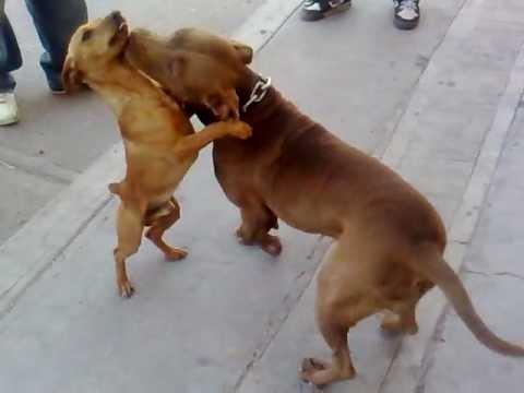 cuchillo filereando a kofy peleas de perros fight