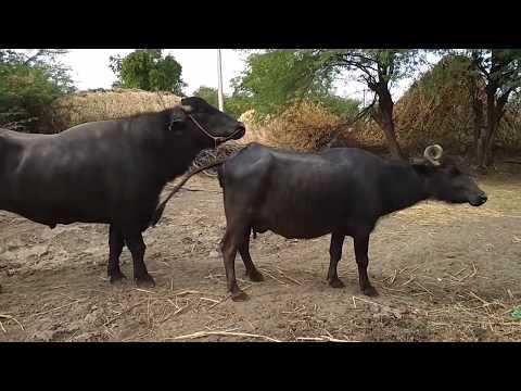 Metting buffalow milaan