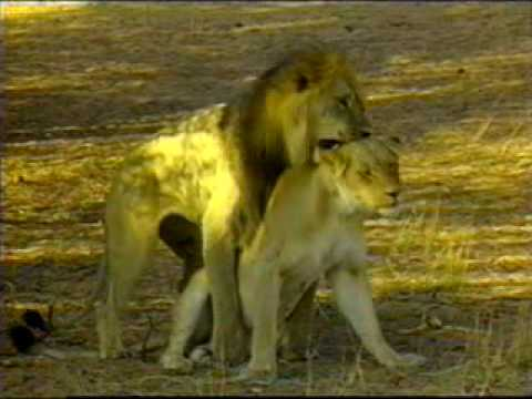 lions mating  sex