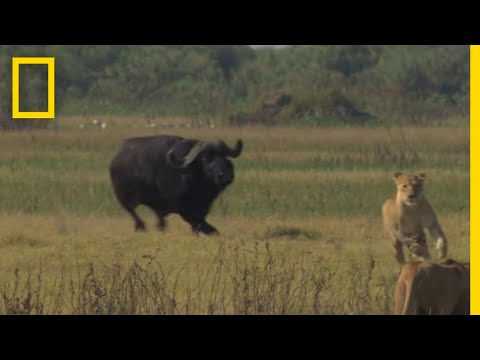 Buffalo Bull Chase The Last Lions Deleted Scenes National Geographic