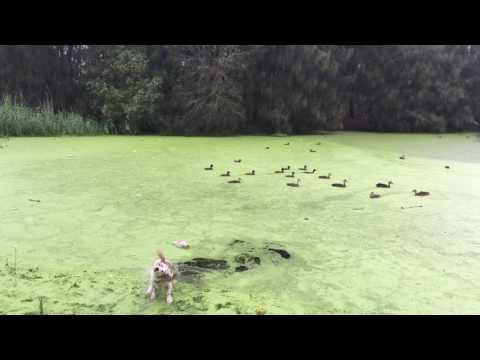 dog jumps into green lake