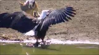 Pete's Pond:  African Fish Eagle encounter's Back-backed Jackals  May 28, 2016