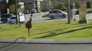 Emu Ostrich Runs Wild on City Streets in Dalton Georgia