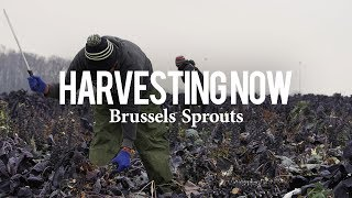 Harvesting Now   Brussels Sprouts