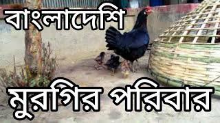 Bangladeshi Hen Family A great video   bd   deshi murgi   hen fight   MR Ajaira TV A Real Video