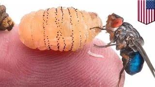 بيوتر ناسكيركي الباحث من جامعة هارفورد يتعمد ابقاء يرقة ذباب في جلده