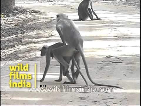 Xxx Mp4 Langur Monkeys Mating Or Show Of Dominance 3gp Sex