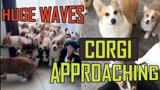 Huge Waves of Corgi Puppies are Approaching You 2019 (Don't miss it!)