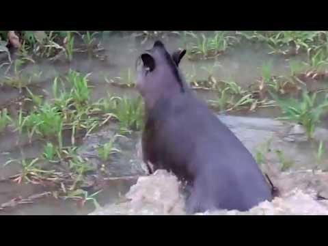 Anta gigante no rio.