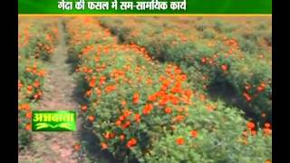 Know more about marigold cultivation