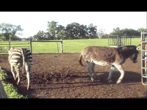 Pixzee Zonkey ( Zebra x Donkey)